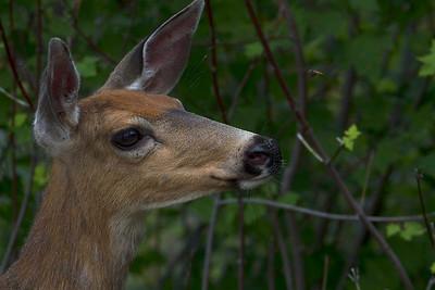 Deer Gnat