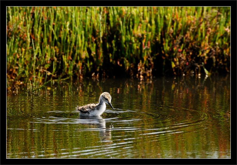 Stilt Chick Wading  A black-necked stilt chick walks cautiously  into shallow waters, looking for small foods.  Baylands Preserve Palo Alto, California  08-MAY-2010