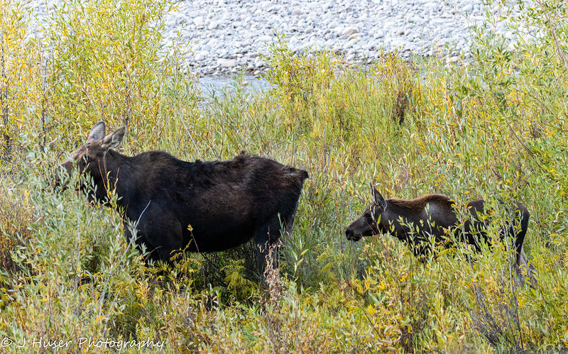 Moose and calf in colorful willows