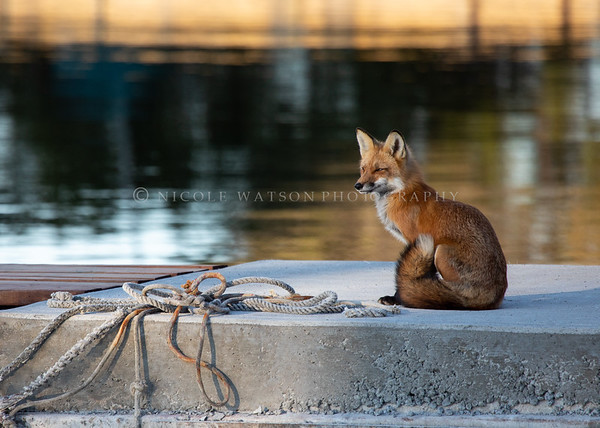 Urban Fox Vixen