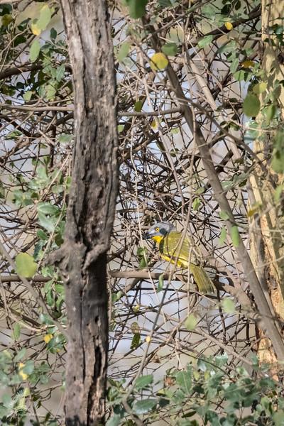Malaconotus blanchoti