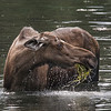 Moose munching in a pond, water dripping
