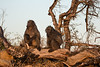 A pair of Chacma baboons, in the early morning light,  KwaZulu-Natal