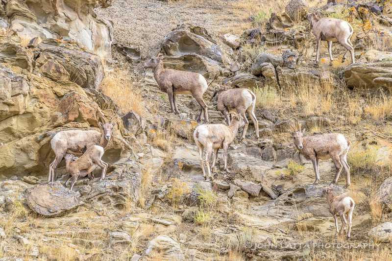 Small Herd of Bighorn Ewes and Lambs