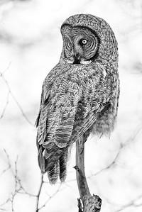 Watchful Grey