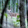 A Deer at Mt. Loretto Forest, Staten Island, New York