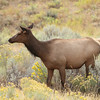 Cow Elk, Yellowstone National Park, WY