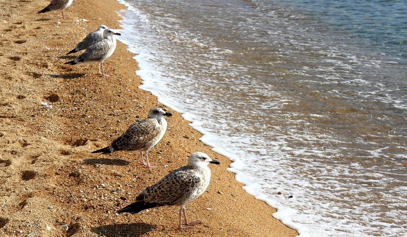 Ασημόγλαρος της Μεσογείου (Larus michahellis). Στην παραλία της Καβάλας