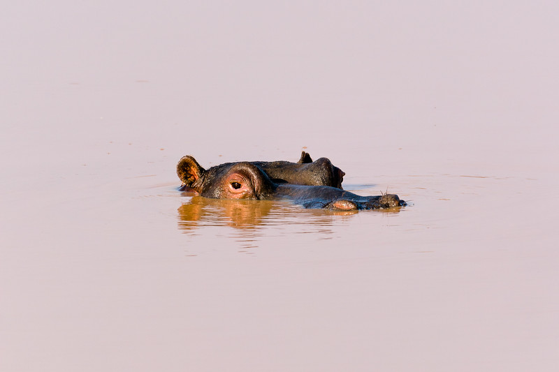 Hippo in a muddy pool, Namibia.