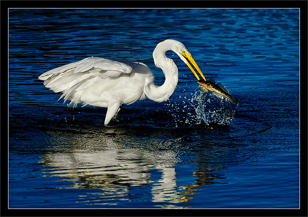 Speared: Fresh Catch  Using a jump-attack method, a great egret successfully spears a good-sized fish.  Shoreline Lake Mountain View, California  09-OCT-2010