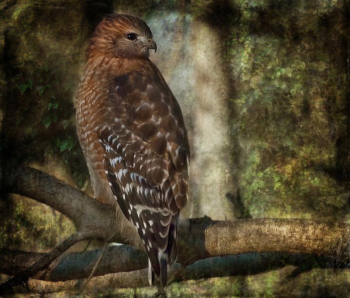 Our friendly neighborhood red-shouldered hawk