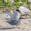 Common Tern Courtship 6/1/16