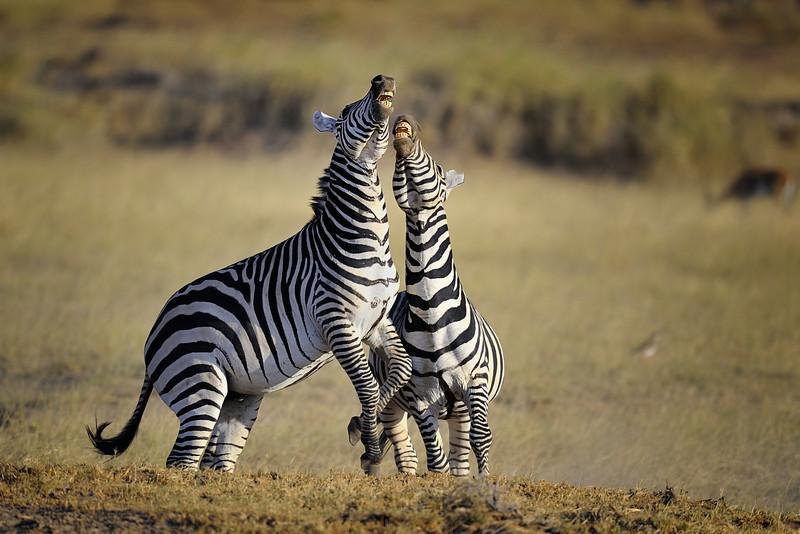 Two Zebras Fighting, Amboseli National Park, Kenya, East Africa