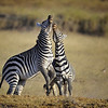Two Zebras Fighting, Amboseli National Park, Kenya, East Africa