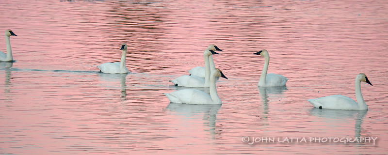 Seven Trumpeter Swans