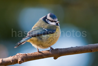 Blue Tit looking round