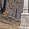 Fox runs wild in cemetary in Georgetown.  Washington, DC.