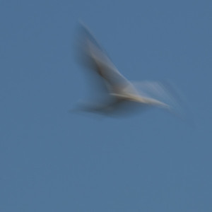 Seagulls In Flight_3
