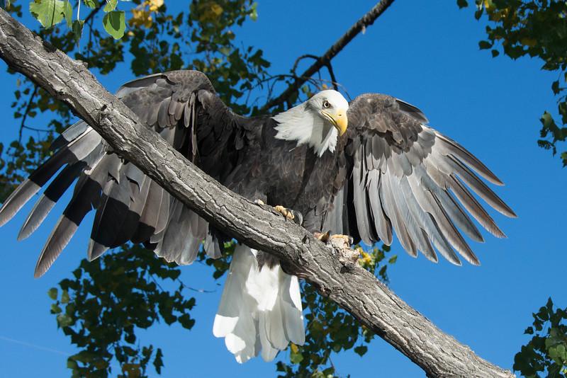 417 - Bald Eagle