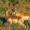 Pronghorn Bucks