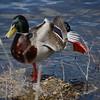 Yoga Duck Pose