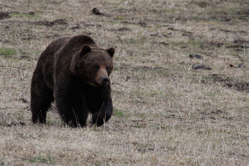Grizzly Bear - Yellowstone National Park near Fishing Bridge