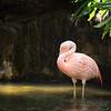 Chilean Flamingo in a pond
