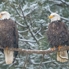 Bald Eagle Pair in Snowstorm