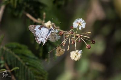 White, African Caper (spp. aurota)