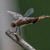Orange Dragonfly 7/23/18