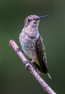Ruby-Throated Hummingbird 8/23/18
