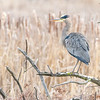 Great Blue Heron Perched Near Wetland