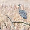 Great Blue Heron Perched Near Wetland