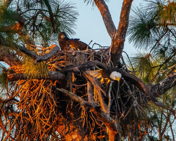 Bald Eagle parent and eaglet