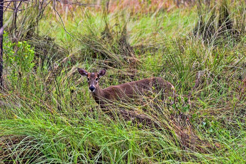 White tail deer in meadow