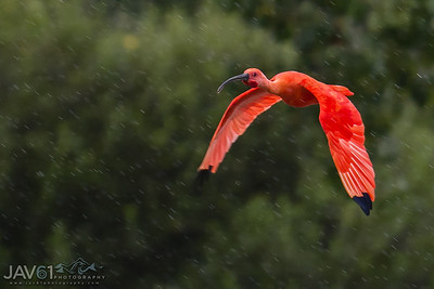 Scarlet Ibis swinging in the rain