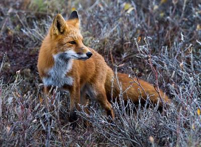 Red Fox - Alaska