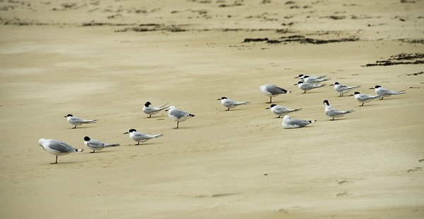 The gulls look half asleep, the terns look poised for attack.  Taken at Taupo Bay, Northland