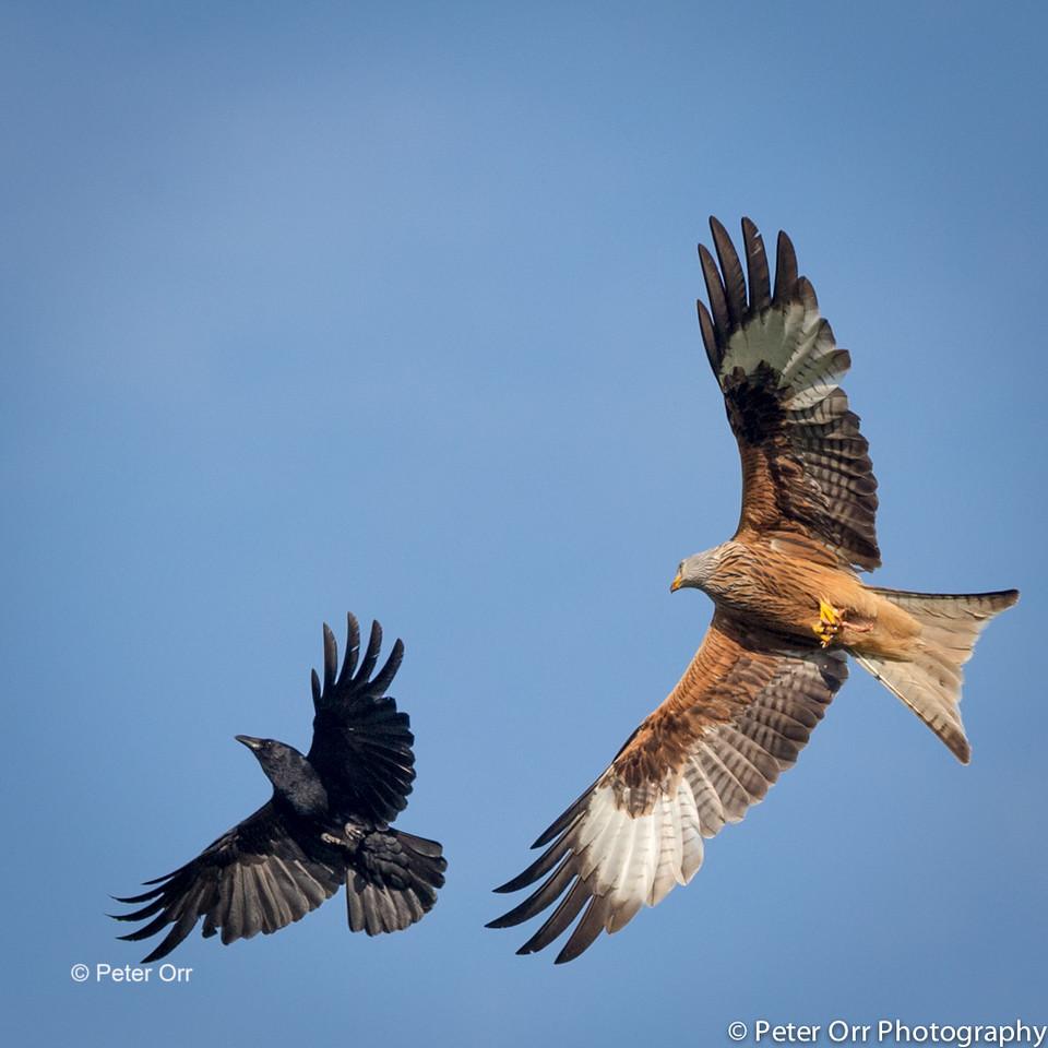 Crow Mobbing the Kite