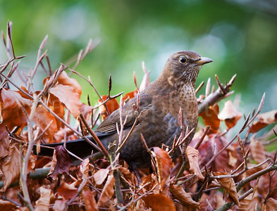 Thrush in the bush