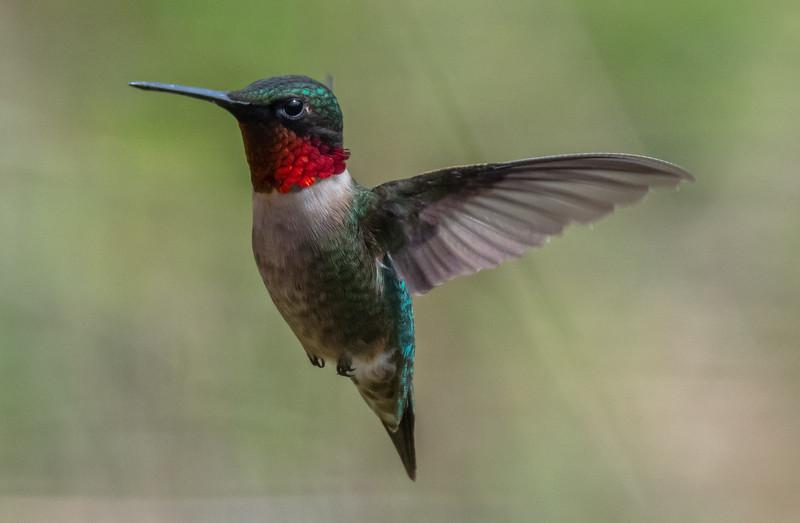 Ruby-Throated Hummingbird 4/25/19