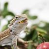 Closeup of a Bearded Dragon eating a Milkweed