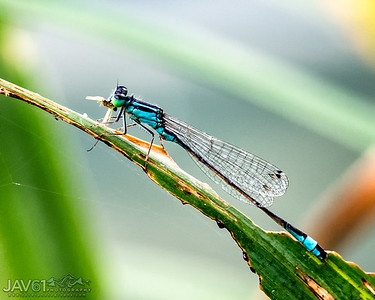 Blue-tailed Damsel