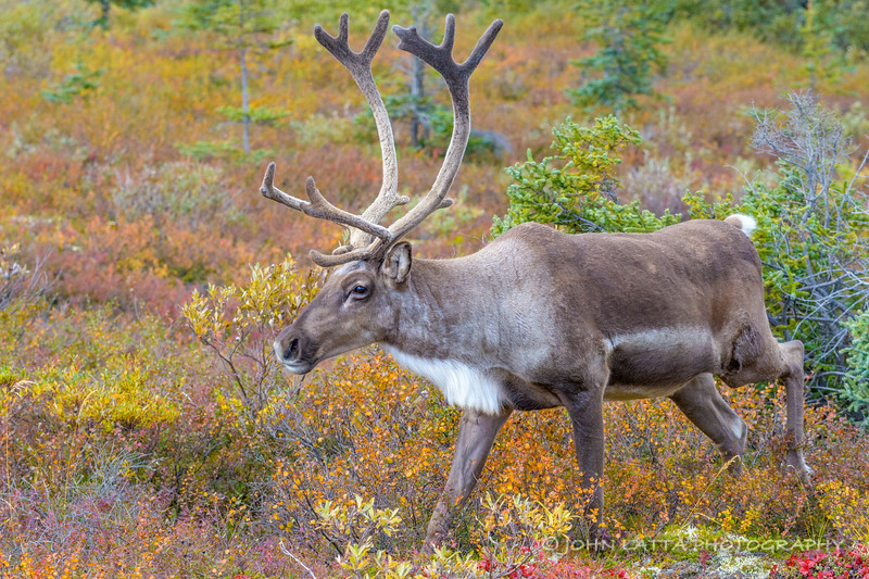 Young Caribou Bull