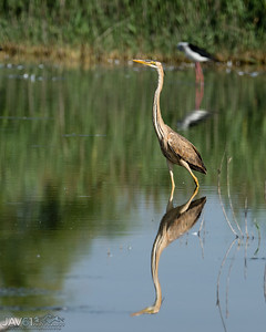 Purple Heron reflected