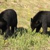 Black bears munching on greens near Fort Nelson, British Columbia, Canada.