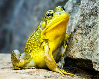 Frog Posing on a Rock