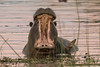 Yawning hippopotamus