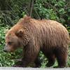 Brown Bear near Kenai River, Alaska.