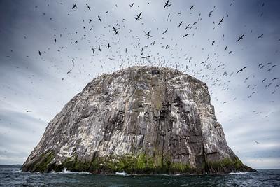 Bass Rock Cormorants Scotland